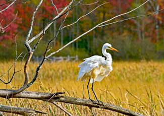 Great White Egret sitting on a broken tree branch