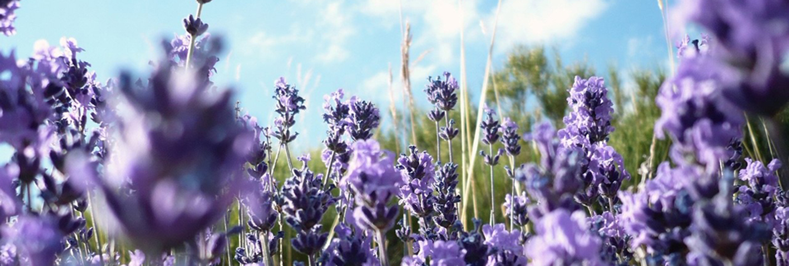 Lavender at Thousand Islands Farms